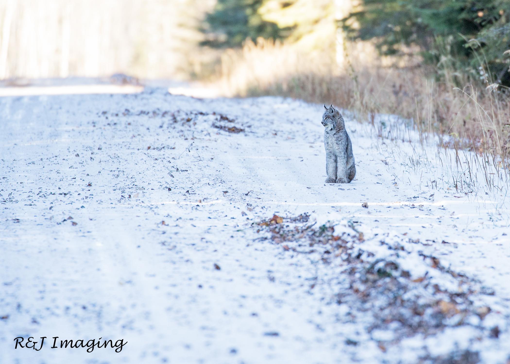 Canada Lynx Surprise