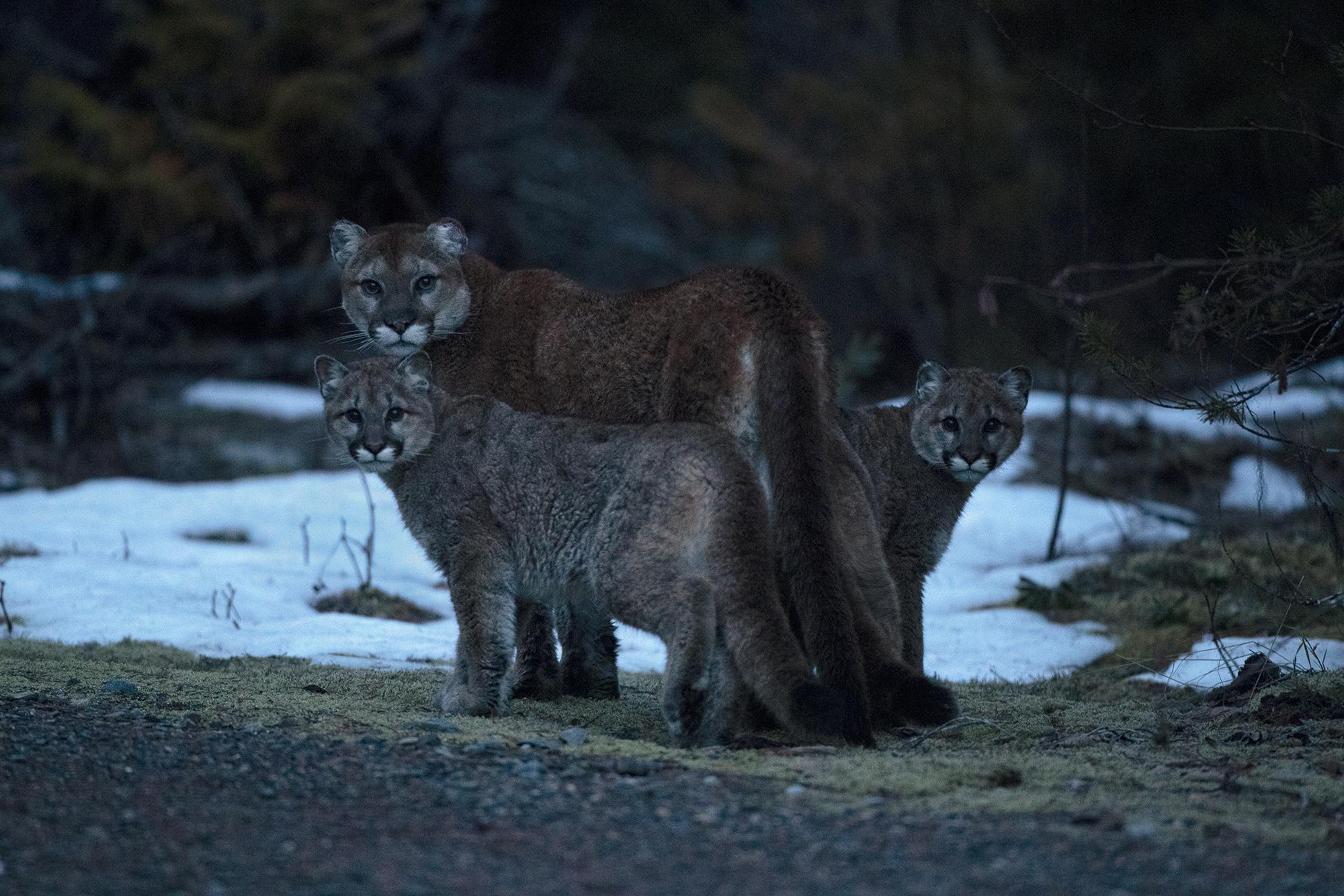 Wild Mountain Lion Family