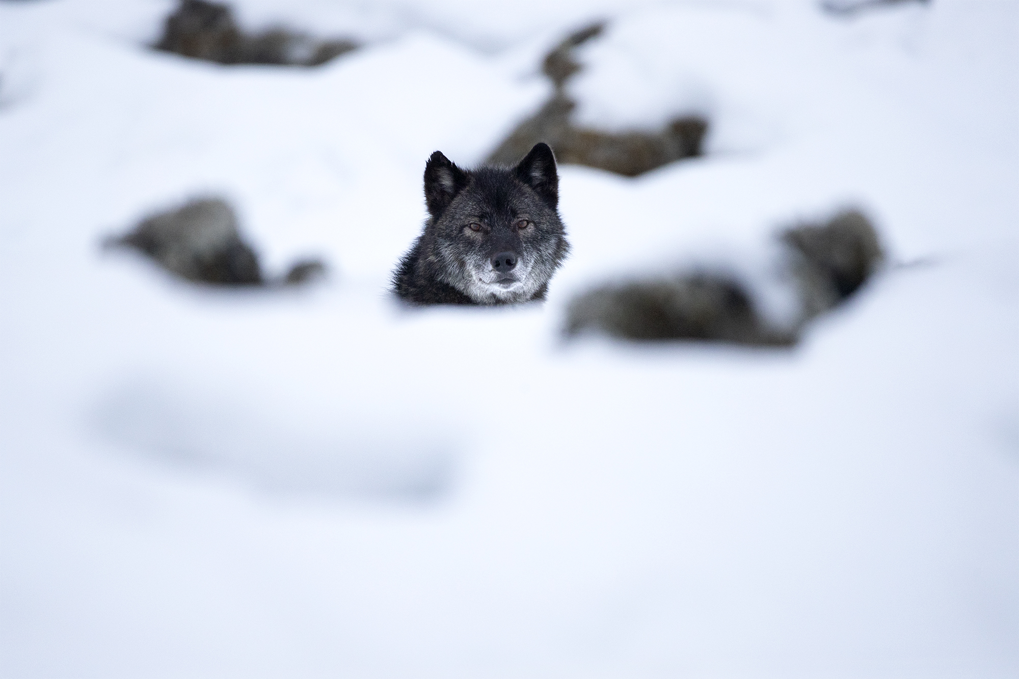 Black Wolf 2