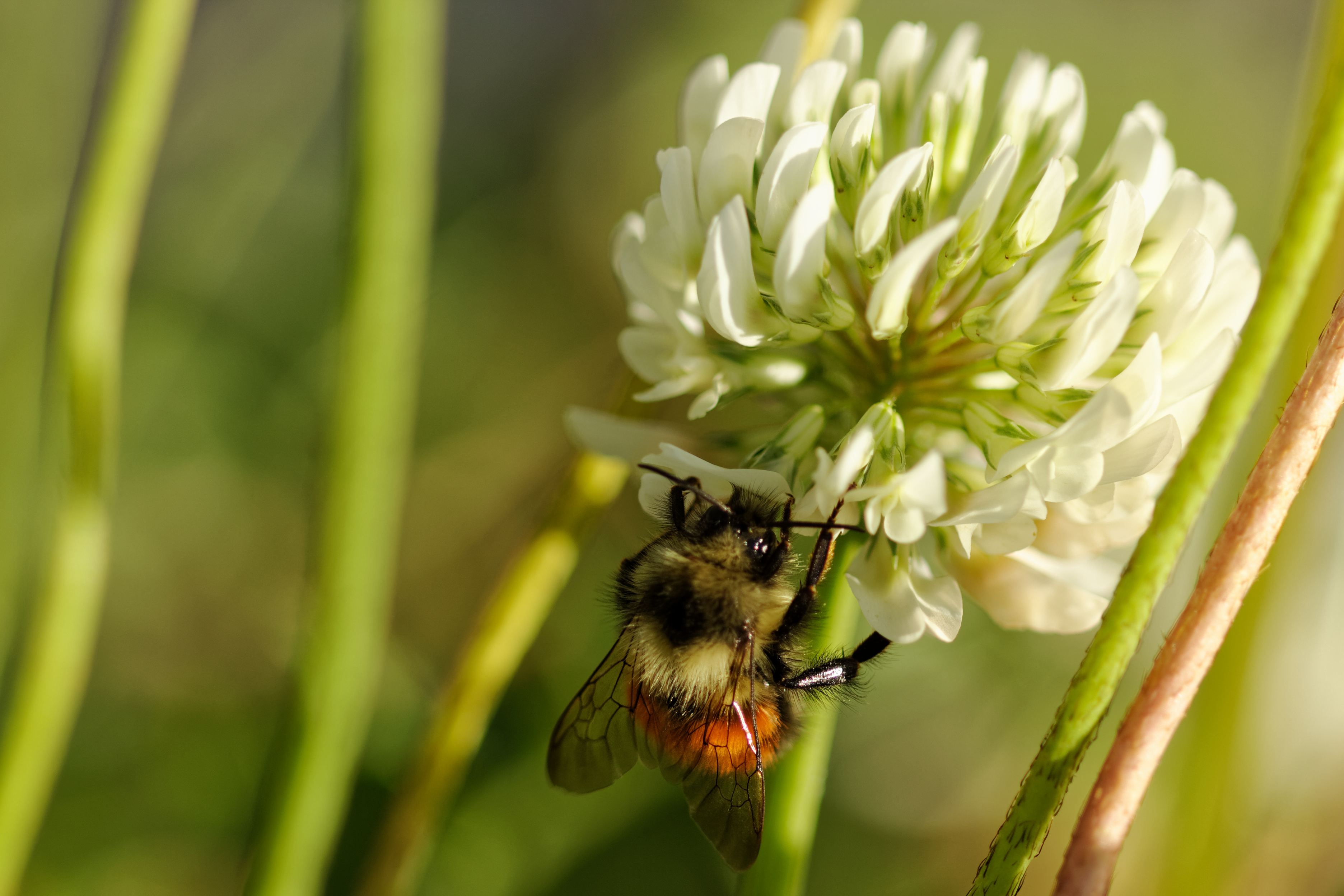 Hunt's Bumble Bee on Clover